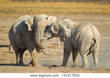 African elephant (Loxodonta africana) bulls fighting, Etosha National Park, Namibia