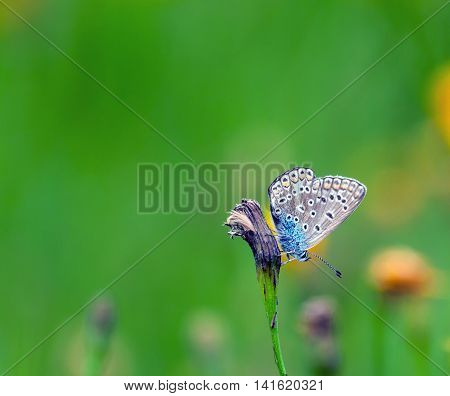 pretty furry blue butterfly, with round black spots on wings sits on a faded flowers in a field of green grass and flowers in the background
