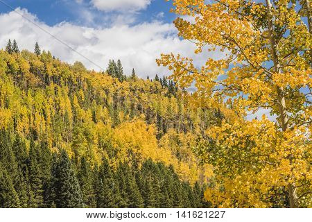 Golden Aspen Forest in the San Juan Mountains in Colorado with a tree in the foreground