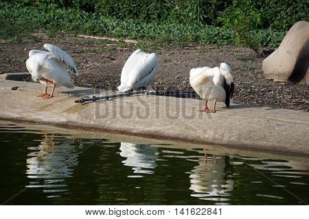 Three American white pelicans (Pelecanus erythrorhynchos) preen their feathers together on the shore of a pond.