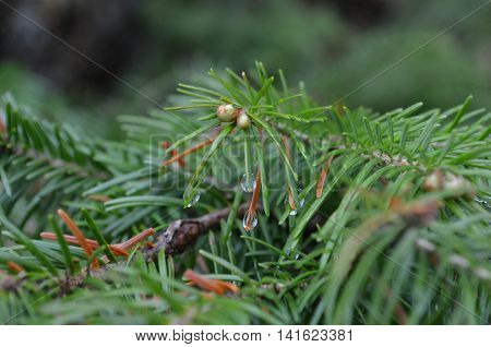 Green Fur-tree Branch Closeup.