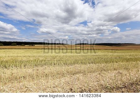 agricultural field, which collect ripe canola crop farming summer