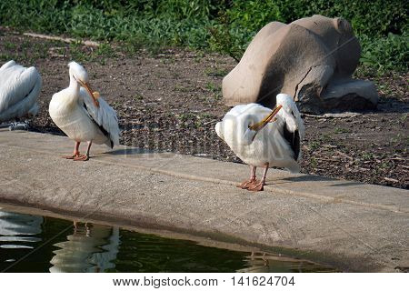 American white pelicans (Pelecanus erythrorhynchos) preen their feathers on the shore of a pond.