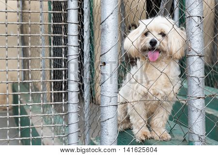 A Maltese Dog Behind A Fence Up For Adoption