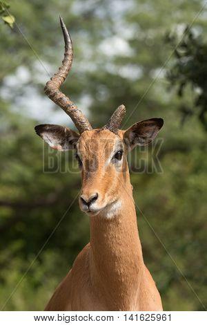 A Portrait Of A Male Impala (aepyceros Melampus) Missing One Horn
