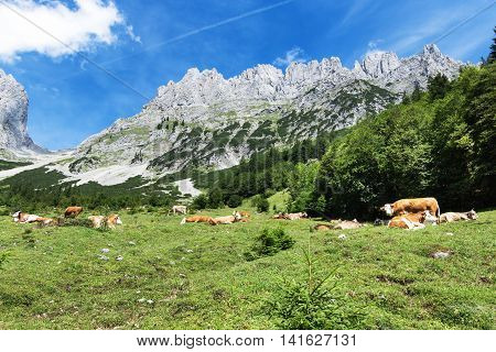 Mountain scenery with resting cows in the austrian alps