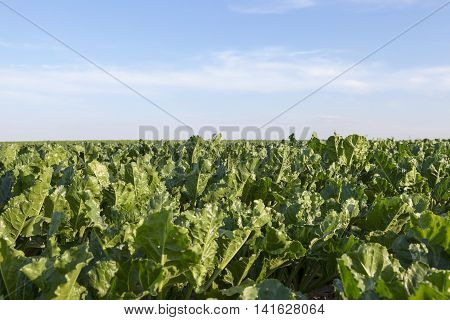 Agricultural field on which grow green shoots of beet