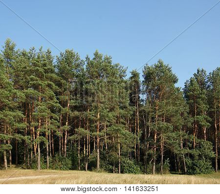 Wall of pine forest lit by evening sun