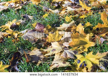 photographed close-up of yellowed and fell to the ground leaves of the trees, a small depth of field,