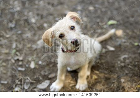 Cute puppy is an adorable little dog looking up with wonder and curiousity in its eyes.