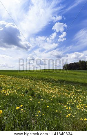Agricultural field on which grow the young grass. wheat