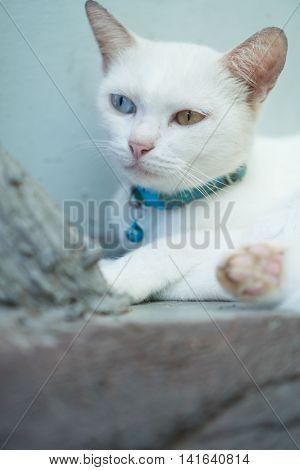 Closeup White Turkish Angora cat with heterochromia eyes on mint background