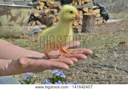 A close up of the very small gosling on hands.