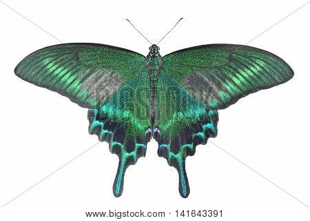 A close up of the butterfly Maack's swallowtail (Papilio maackii). Isolated on white.