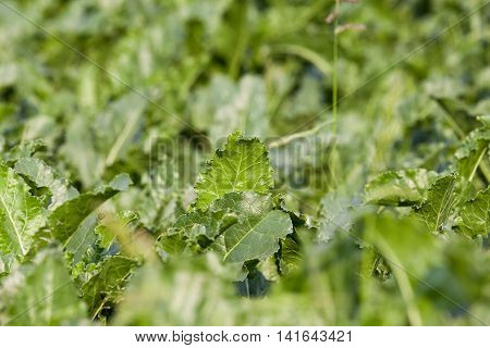 green leaves beetroot growing in an agricultural field, close-up