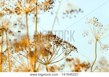 photographed close-up of ripe seeds of dill, Defocus