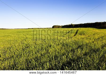 agricultural field on which unripe green grass grows