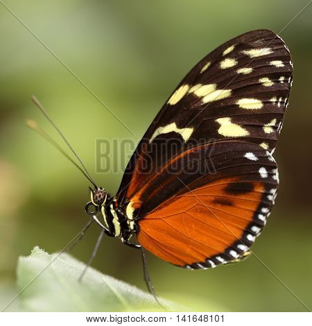Eueides isabella, or Isabella's Tiger butterfly, a South American and Caribbean tropical species that lives in the forest canopy.