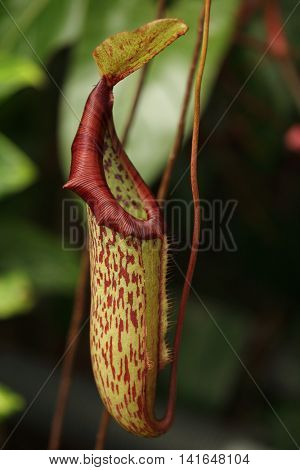 A pitcher plant, Nepenthes sp., from the forests of Borneo. This is probably one of the species in the N. maxima complex.