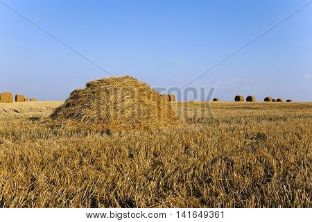 haystacks straw lying in the agricultural field after harvest. summer