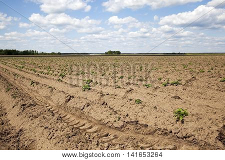 agricultural field on which grows green potatoes, spring, blue sky