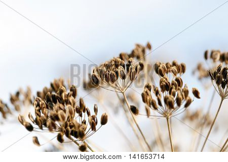 photographed close-up of a mature brown fennel umbrella, a small depth of field