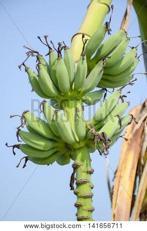 close up green banana tree in fruit garden