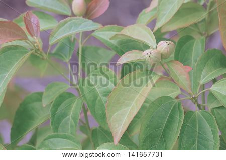 Purging Croton Or Croton Tiglium Linn With Green Leaves