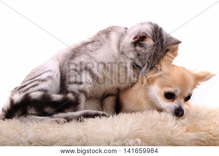 Cat And Chihuahua Are Resting