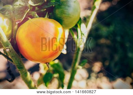 Ripe homegrown orange fresh Tomato in a garden close up
