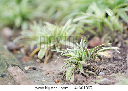 Spider Plant With Green And White Slender Leaf Which Is Good For House Garden Decoration