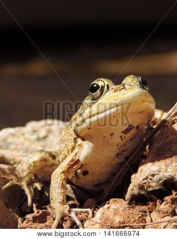Brown frog or toad, close-up shot with defocused background.