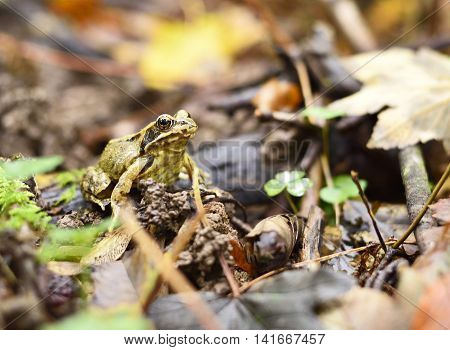 Forest frog and autumn leaves, forest floor.