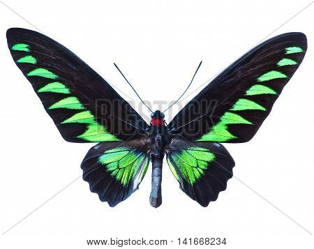 Green and black birdwing butterfly, isolated on White. Green butterfly.