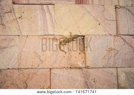 Small Gray Gecko Lizard on brick background