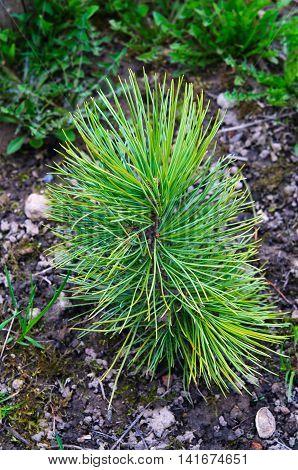 Small green cedar sprout in the garden