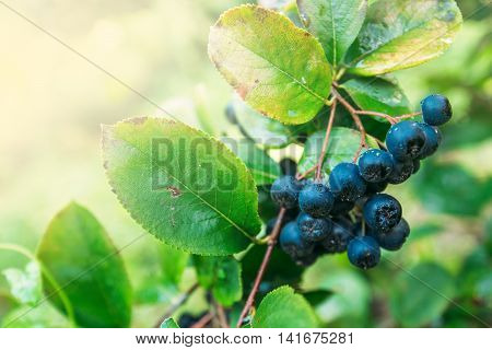 Fruitful ripe aronia berry fruit on the branch selective focus