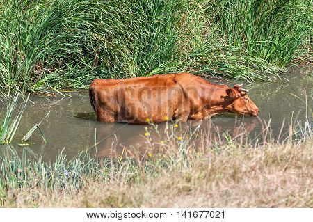 Cow saved from heat in the water