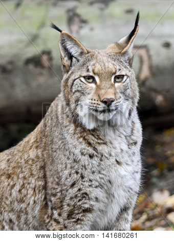 Wild lynx or bobcat in the forest. Close-up shot.