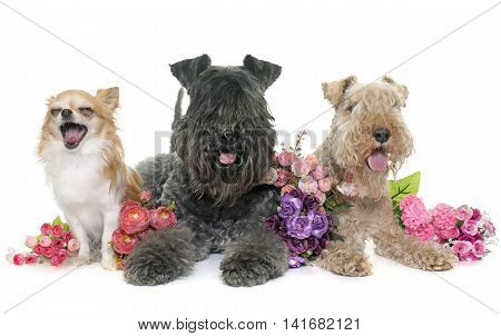 kerry blue terrier chihuahua and lakeland terrier in front of white background