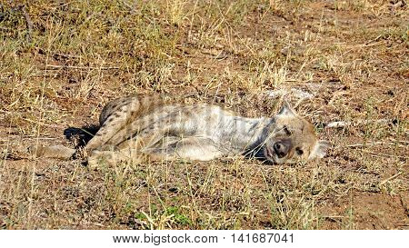 A spotted hyena falls asleep in the morning sun in the Kruger National Park in South Africa