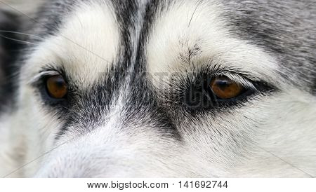 dog brown eyes breed alaskan malamute, white with gray wool