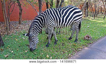 Zebras in a hotel garden in the Mosi-oa-Tunya National Park in Zambia
