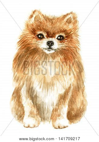Pomeranian spitz-dog. Image of a thoroughbred dog. Watercolor painting.