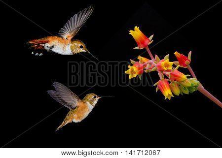 Hummingbirds in flight with orange tropical flower over black background