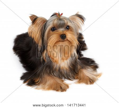 Lovely Yorkshire Terrier with hairpin isolated on white