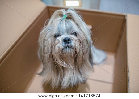 Shih tzu dog with sitting in cardboard box. Postal gift concept.