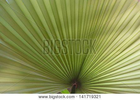 Leaf of Livistona palm - closeup Pattern similar to a fan