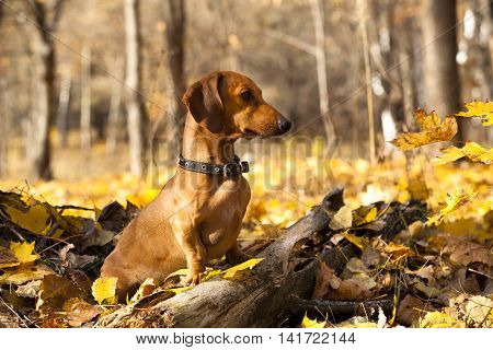 Dachshund on a background autumn forest