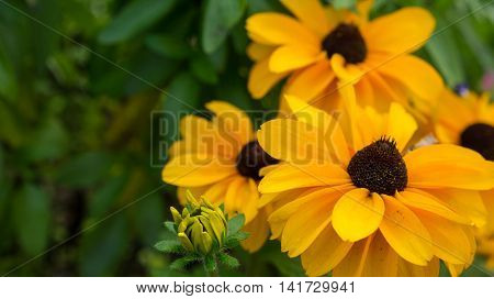 Yellow rudbeckia flowers on grean background with leaves